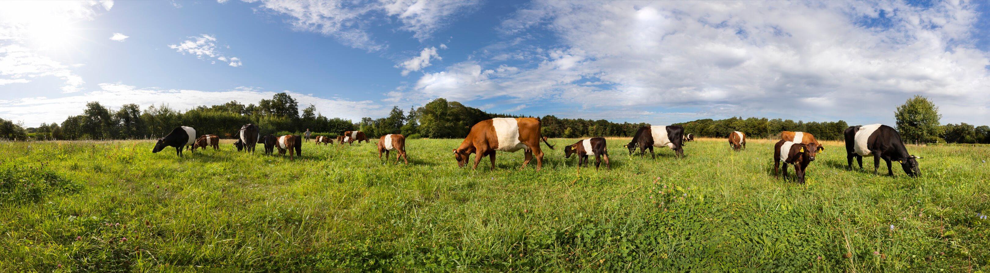 Jurjen Poeles fotografie Jelle Hidma en zijn Lakenvelders Koeien van Jelle Lakenvelder 180 graden foto