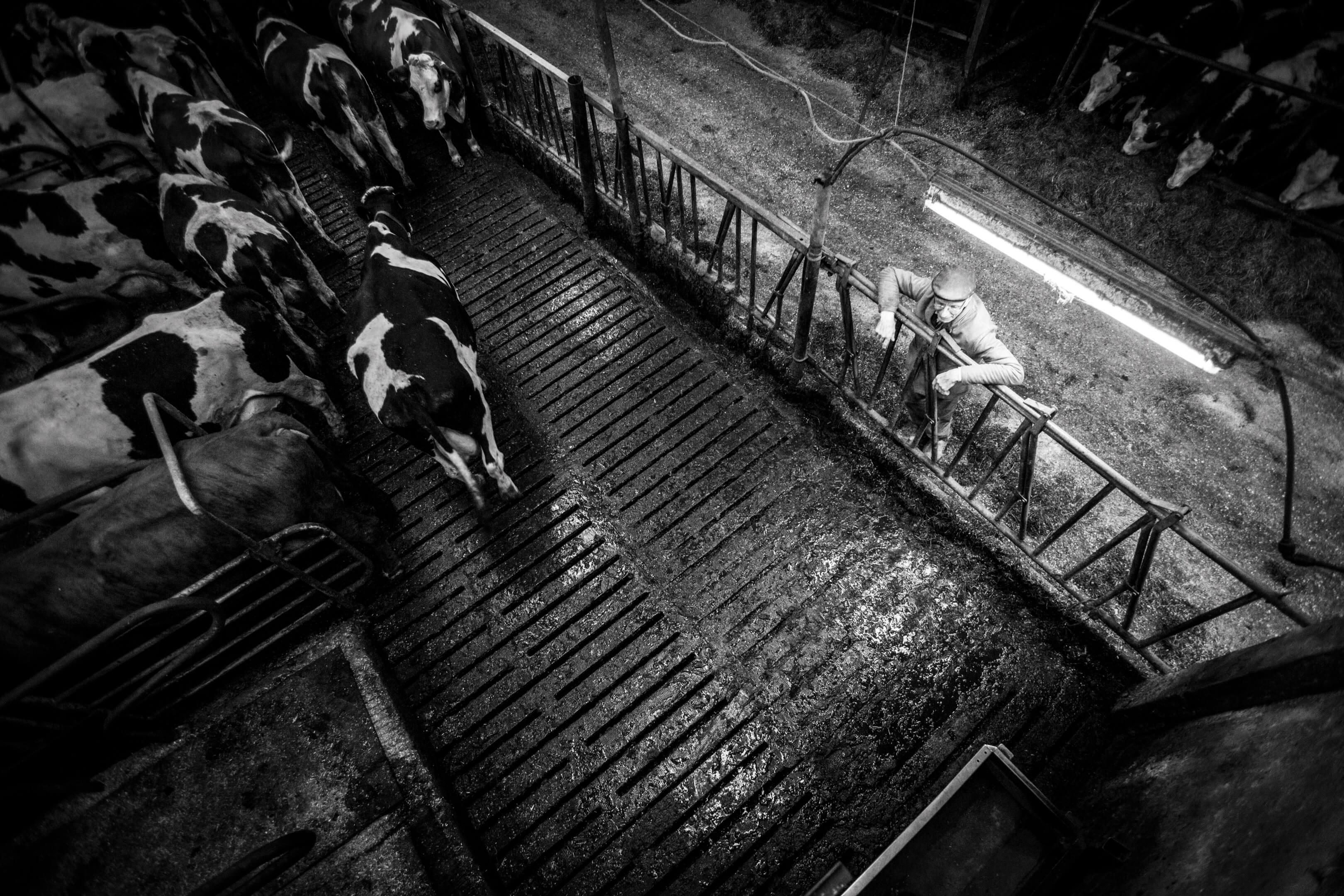 Jelle Hidma koeien van Jelle lakenvelders reportage zwart wit zw Jur Jurjen Poeles Fotografie vrij werk boerderij Twente biologische veeteelt duurzaam biologisch